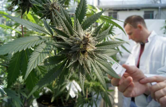 Марихуана при простате как проращивать семена на гидропоники